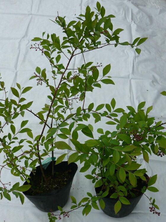ブルーベリー苗木ミックス2鉢(3年もの)