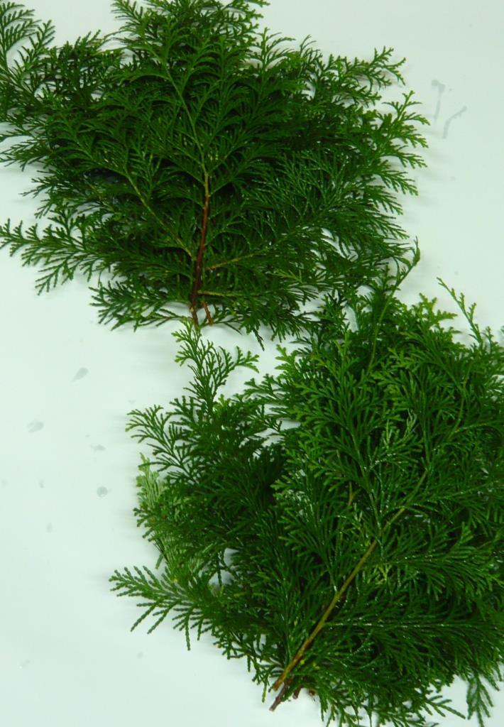 国産 檜葉(ヒバ)桧葉 30cm〜35cm×10枚
