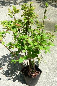 ミツバツツジ 三つ葉ツツジ みつばつつじ 1鉢 樹高60cm前後