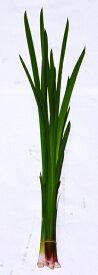 匂い菖蒲切葉(におい菖蒲)7本約60cm(4月下旬〜)