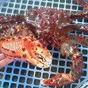 活蟹だから旨さが違う!ロシア産活花咲かにオス1尾 1.4〜1.5kg前後【楽ギフ_のし】【活カニ】【お買い得】
