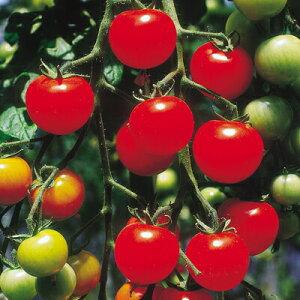 ナカハラのたね トマト スーパーピグミートマト 100粒