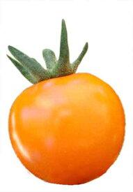 トキタ種苗 トマト サンオレンジ 100粒