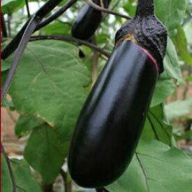 トキタ種苗 茄子 彩むらさき 70粒
