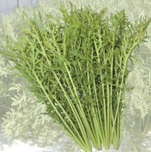 トキタ種苗 サラダからし菜 小袋