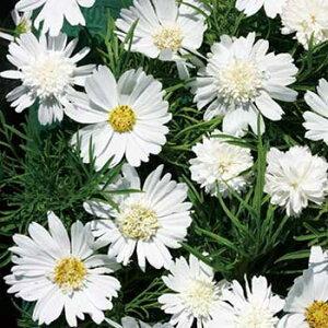 タキイ種苗 草花 種子 コスモス・ホワイトポップソックス
