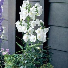 タキイ種苗 草花 種子 カンパニュラ(つりがね草)・F1タキオン ホワイト