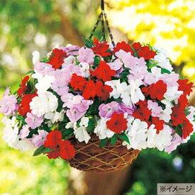 タキイ種苗 草花 種子 ニューギニアインパチェンス・F1ディバインミックス