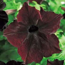 タキイ種苗 草花 種子 ペチュニア・F1ソフィスティカ ブラックベリー
