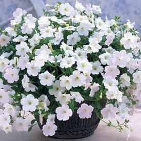 タキイ種苗 草花 種子 ペチュニア・F1ラテリーナ ホワイト