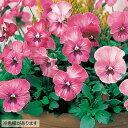 タキイ種苗 草花 種子 ウインターパンジー・F1ナチュレ ローズピンク