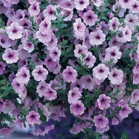 タキイ種苗 草花 種子 ペチュニア・F1ラテリーナ ラベンダーアイス