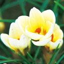 タキイ種苗 球根 寒咲きクロッカス クリームビューティ
