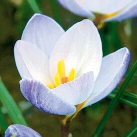 タキイ種苗 球根 寒咲きクロッカス ブルーパール