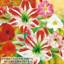 タキイ種苗 球根 ポット植えアマリリス4種 おまかせ 福袋