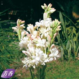 タキイ種苗 球根 チューベローズ・八重咲き