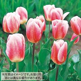 タキイ種苗 球根 チューリップ 50球詰め 桃/白色種