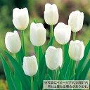 タキイ種苗 球根 チューリップ 50球詰め 白色種