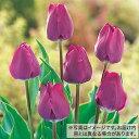 タキイ種苗 球根 チューリップ 50球詰め 紫色種