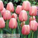 タキイ種苗 球根 チューリップ・50球詰め 桃色種