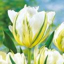 タキイ種苗 球根 チューリップ ホワイトバレー
