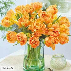 タキイ種苗 球根 チューリップ・切り花も楽しもう ダブルオレンジ オルカ
