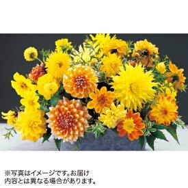 タキイ種苗 球根 ダリア・キャンディーミックス 黄色系 5球