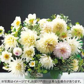 タキイ種苗 球根 ダリア・キャンディーミックス 白色系