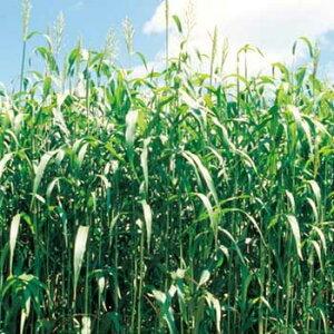 タキイ種苗 緑肥 芝草 種子 ソルガム 緑肥用ソルゴー