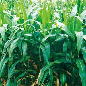 タキイ種苗 緑肥 芝草 種子 ソルガム やわらか矮性ソルゴー