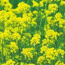 タキイ種苗 緑肥 芝草 種子 緑肥用からしな(シロカラシ)・黄花のちから 1袋(1kg)