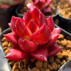 農園直売 多肉植物 寄せ植え エケベリア属 ロメオルビン 赤 美苗 レア 超人気 抜き苗 観葉植物 インテリア