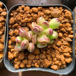 農園直売多肉植物 寄せ植え アドロミスクス属 インディアンクラブ 抜き苗 観葉植物 インテリア