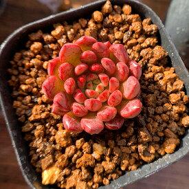 農園直売 多肉植物 寄せ植え エケベリア属 ピンクルビー(単)(優品)(美苗)抜き苗 観葉植物 インテリア