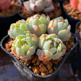 農園直売 多肉植物 寄せ植え エケベリア属 七福美尼(4頭以上) 抜き苗 観葉植物 インテリア