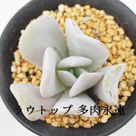 ラウトップ エケベリア Mサイズ 6cmポット Echeveria LAUTOP 薔薇咲 多肉植物 小~中型種 ロゼットタイプ きれい かわいい