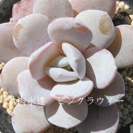 ピンクラウィーエケベリア Mサイズ6cmポット Echeveria 薔薇咲 ロゼット 多肉植物