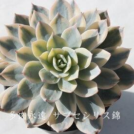 サブセシリス錦 エケベリア Lサイズ7.5cmポット Echeveria 薔薇咲 ロゼット 多肉植物