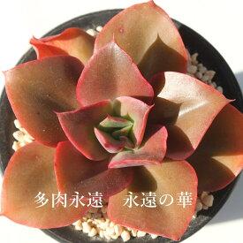 永遠の華(とはのはな) エケベリア Mサイズ6cmポット Echeveria 薔薇咲 ロゼット 多肉植物