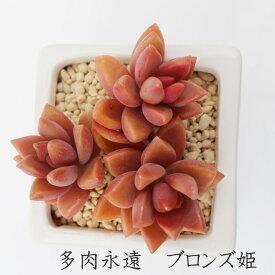 ブロンズ姫 グラプトペタルム Mサイズ6cmポット 耐寒性多肉植物