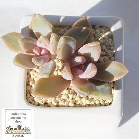桜月 グラプトペタルム Mサイズ6cmポット 耐寒性多肉植物