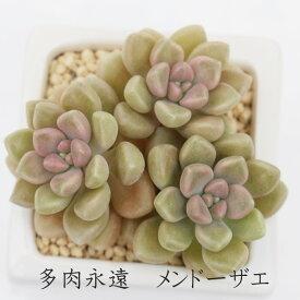 メンドーザエ グラプトペタルム Mサイズ6cmポット 耐寒性多肉植物