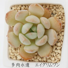 エイ グリムワン グラプトベリア Mサイズ6cmポット 耐寒性多肉植物