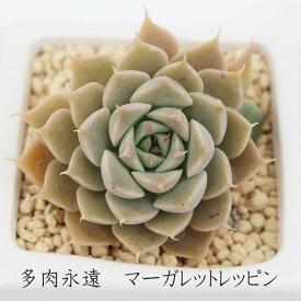 マーガレットレッピン グラプトベリア Mサイズ6cmポット 耐寒性多肉植物