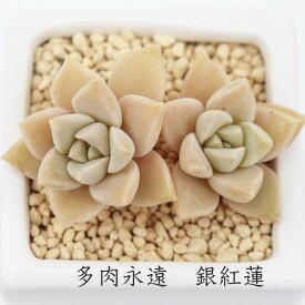銀紅蓮 グラプトベリア Mサイズ6cmポット 耐寒性多肉植物