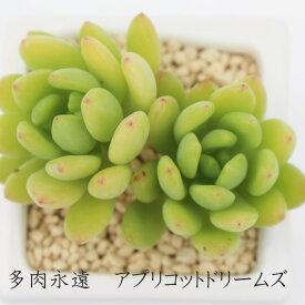 アプリコットドリームズ グラプトベリア Mサイズ6cmポット 耐寒性多肉植物