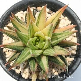 レインワルディー錦並斑 ハオルチア Haworthia Mサイズ6cmポット 透明窓 多肉植物