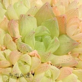 京の華1頭 ハオルチア Haworthia Mサイズ6cmポット 透明窓 多肉植物