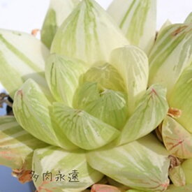 京の華錦並斑 ハオルチア Haworthia Mサイズ6cmポット 透明窓 多肉植物