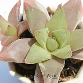 プラニフォリア白覆輪 ハオルチア Haworthia Mサイズ6cmポット 透明窓 多肉植物